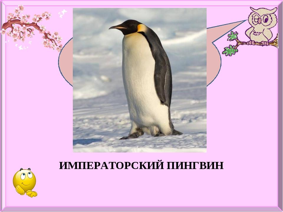 Какая птица лучше всех плавает и ныряет? ИМПЕРАТОРСКИЙ ПИНГВИН