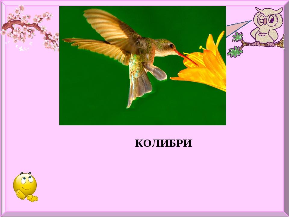 Какая птица самая маленькая? КОЛИБРИ
