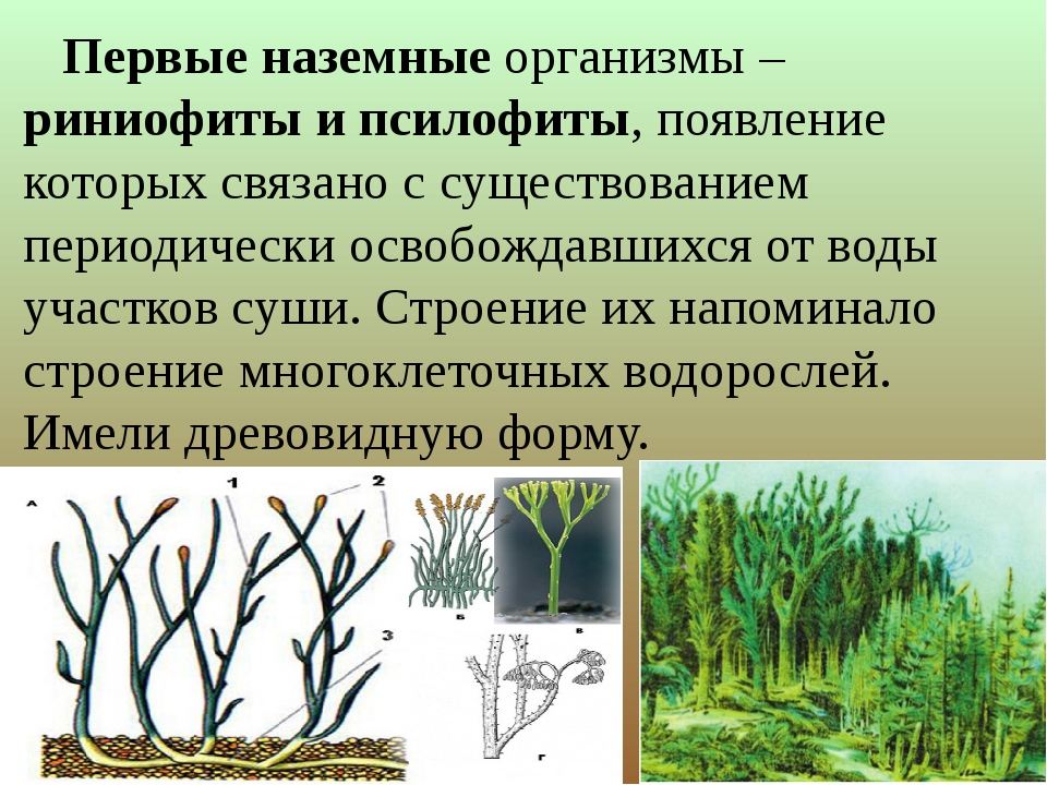 Первые наземные организмы – риниофиты и псилофиты, появление которых связано...