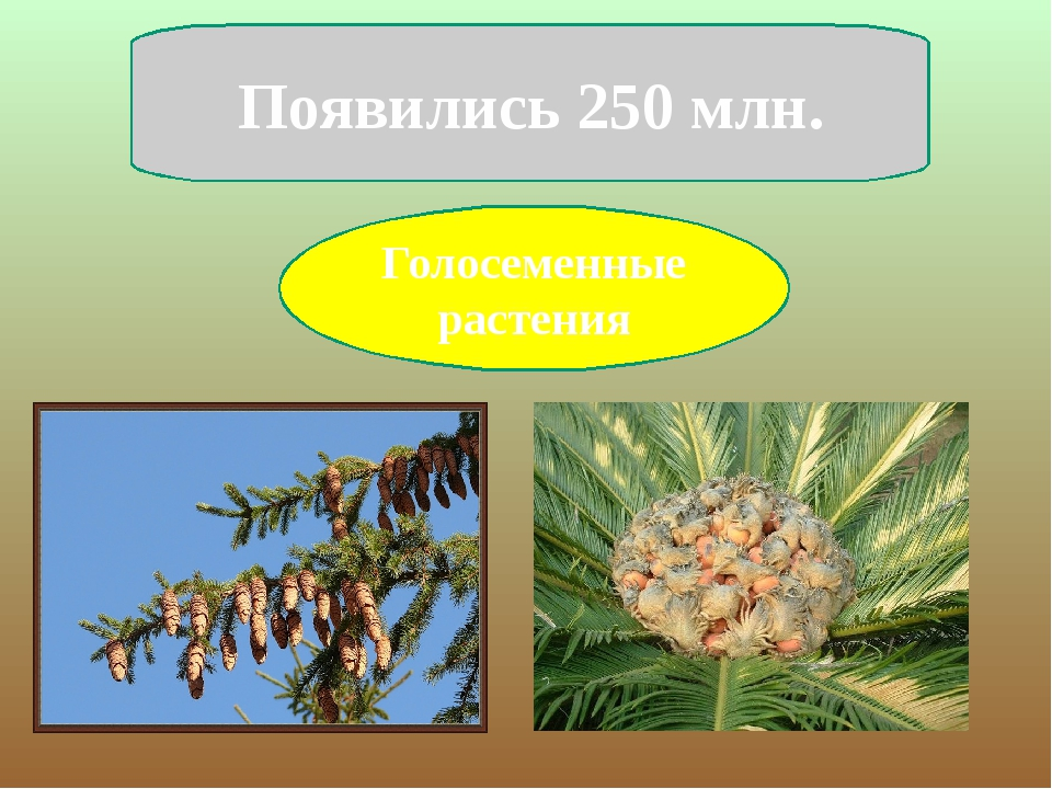 Голосеменные растения Появились 250 млн.
