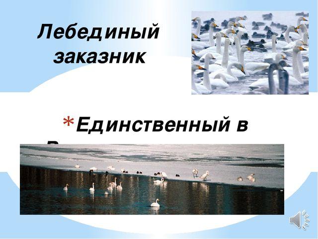 Единственный в России, где зимуют лебеди Лебединый заказник