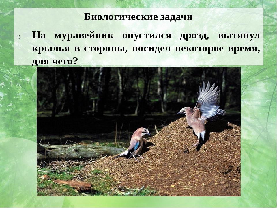 Биологические задачи На муравейник опустился дрозд, вытянул крылья в стороны,...