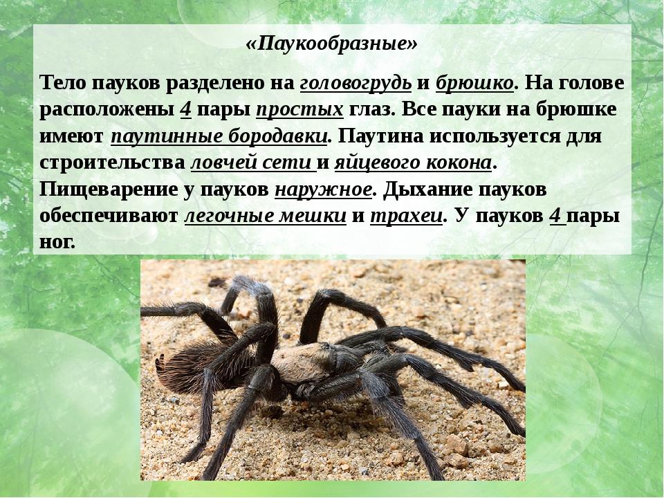 «Паукообразные» Тело пауков разделено на головогрудь и брюшко. На голове расп...
