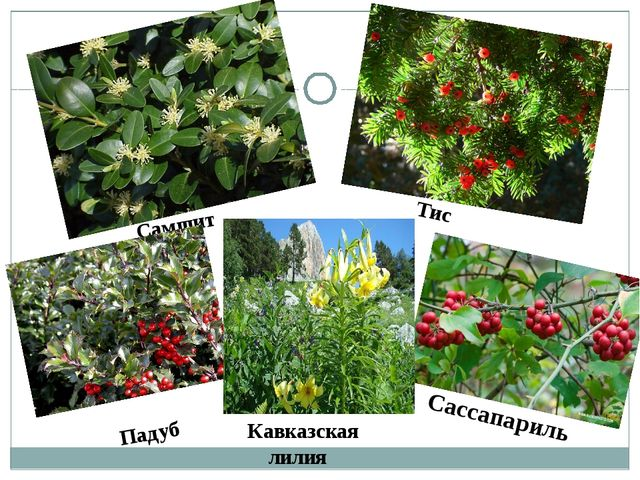 Тис Самшит Падуб Сассапариль Кавказская лилия