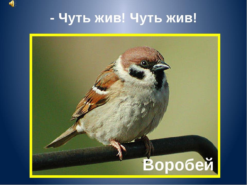 Воробей - Чуть жив! Чуть жив!