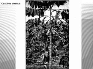 Castilloa elastica В его состав входят пальмы, каучуконос кастиллоа — (Castil