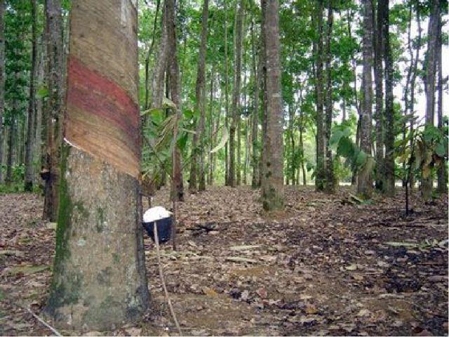 В его состав входят пальмы, каучуконос кастиллоа — (Castilloa elastica),