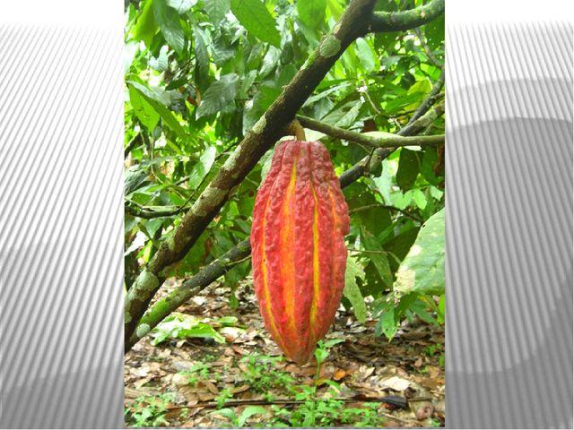 дерево какао (Theobroma cacao), бананы и др.