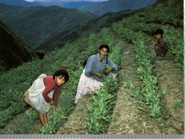 кустарник кока (Erythroxylon coca), в листьях которого содержится кокаин, и...