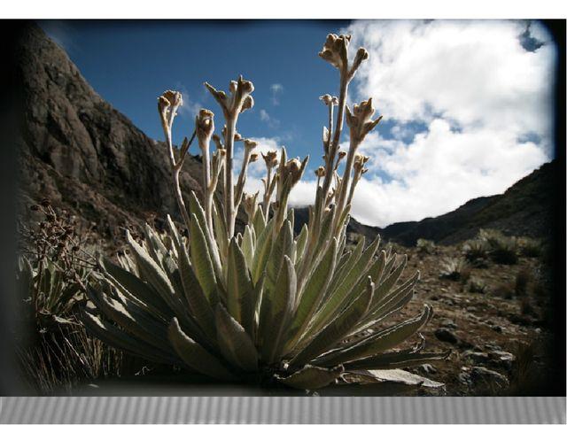 Растительность парамос своеобразна и имеет ярко выраженный ксерофитный облик...