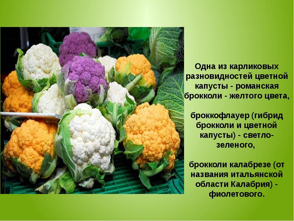 Одна из карликовых разновидностей цветной капусты - романская брокколи - желт...
