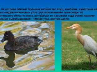 На острове обитает большое количество птиц, наиболее известные из них нес