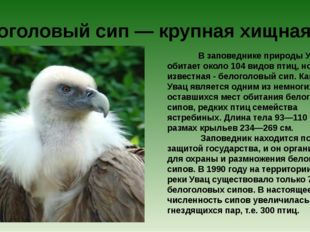 В заповеднике природы Увац обитает около 104 видов птиц, но самая известна