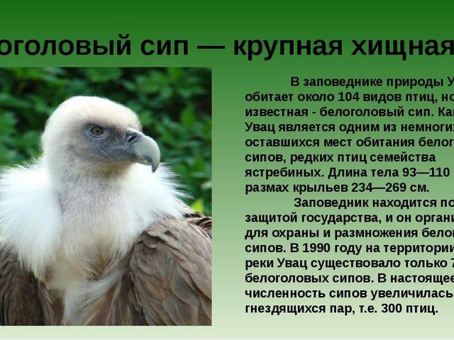 В заповеднике природы Увац обитает около 104 видов птиц, но самая известна...