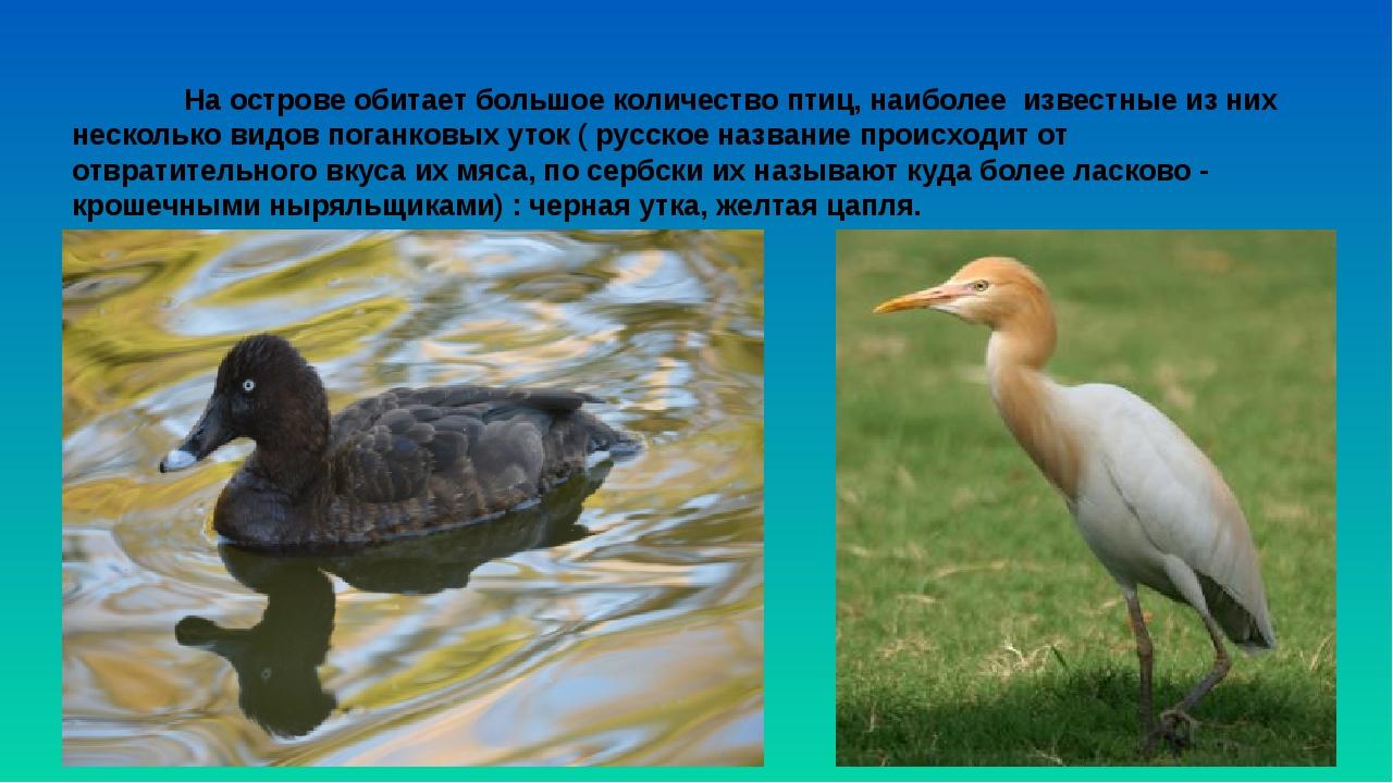 На острове обитает большое количество птиц, наиболее известные из них нес...