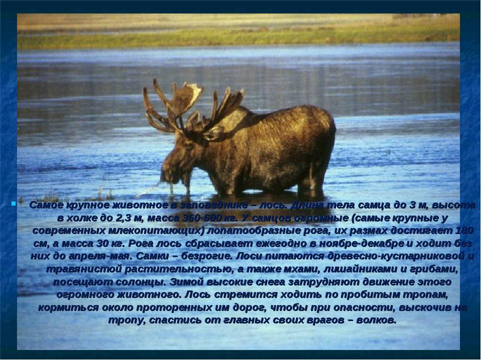 Самое крупное животное в заповеднике – лось. Длина тела самца до 3 м, высота...