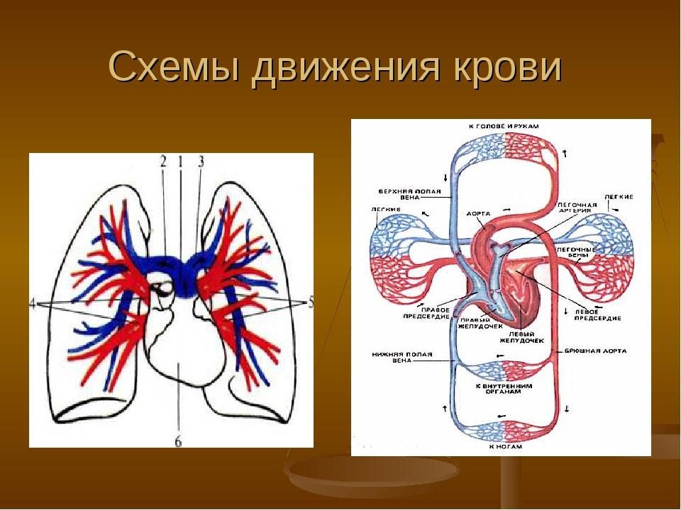 Схемы движения крови