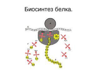Биосинтез белка.