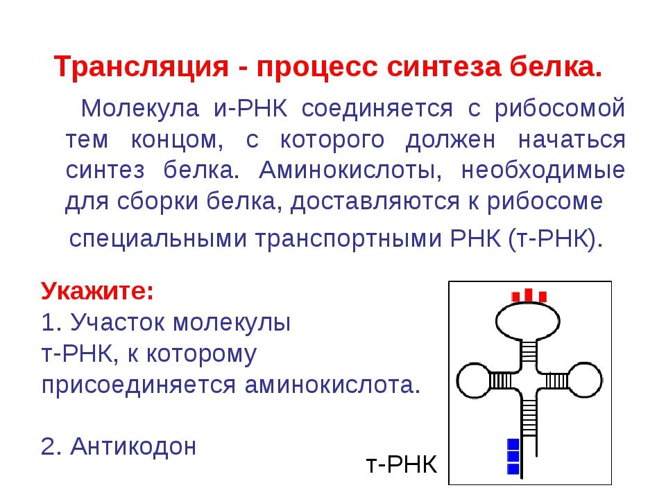 Трансляция - процесс синтеза белка. Молекула и-РНК соединяется с рибосомой те...