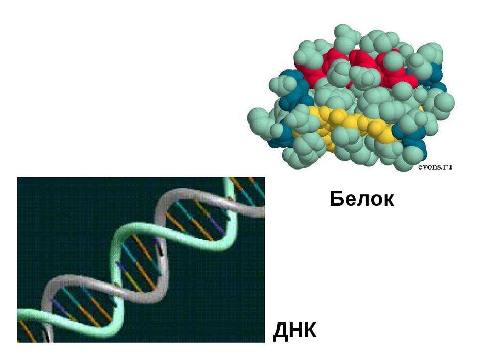 ДНК Белок