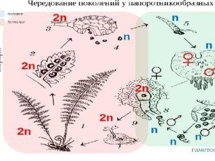 Чередование поколений: Взрослое растение (диплоидный спорофит) – мейоз – спор