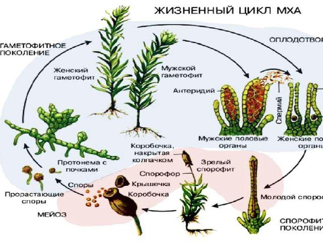 У мхов в цикле развития преобладает половое поколение (n). Листостебельные ра...