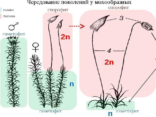 Чередование поколений мха: растение (гаметофит) – митоз – гамета, оплодотворе...