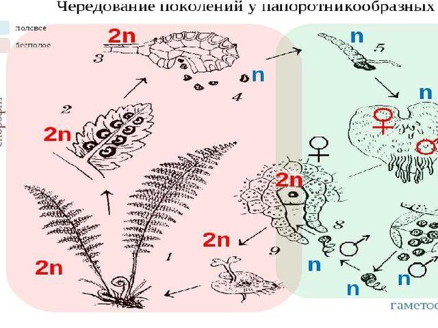 Чередование поколений: Взрослое растение (диплоидный спорофит) – мейоз – спор...