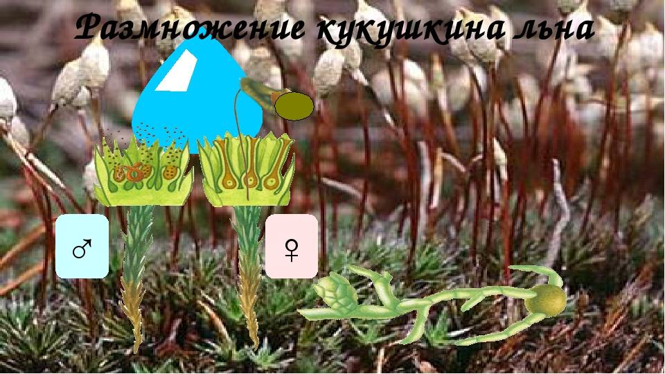 Размножение кукушкина льна ♂ ♀