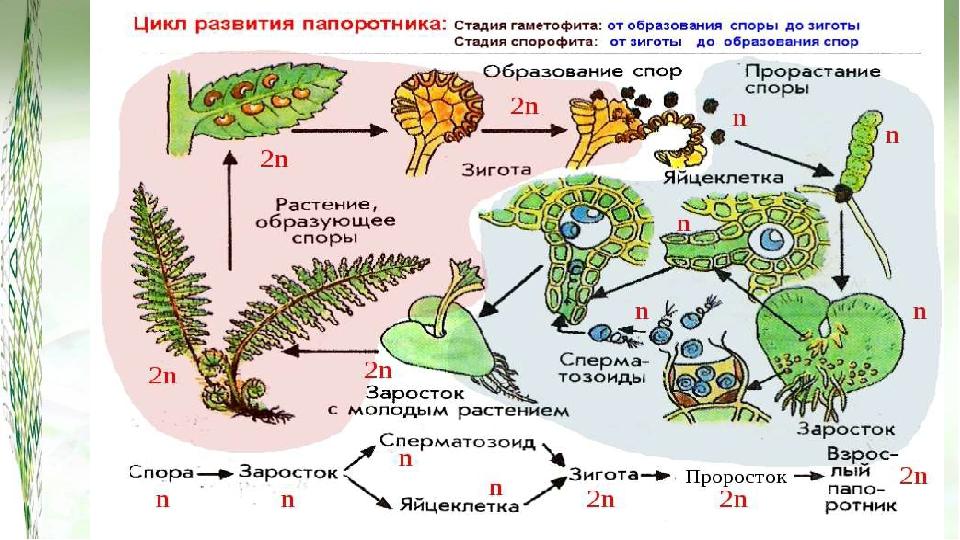 У папоротников (также хвощей, плаунов) в жизненном цикле преобладает спорофит...