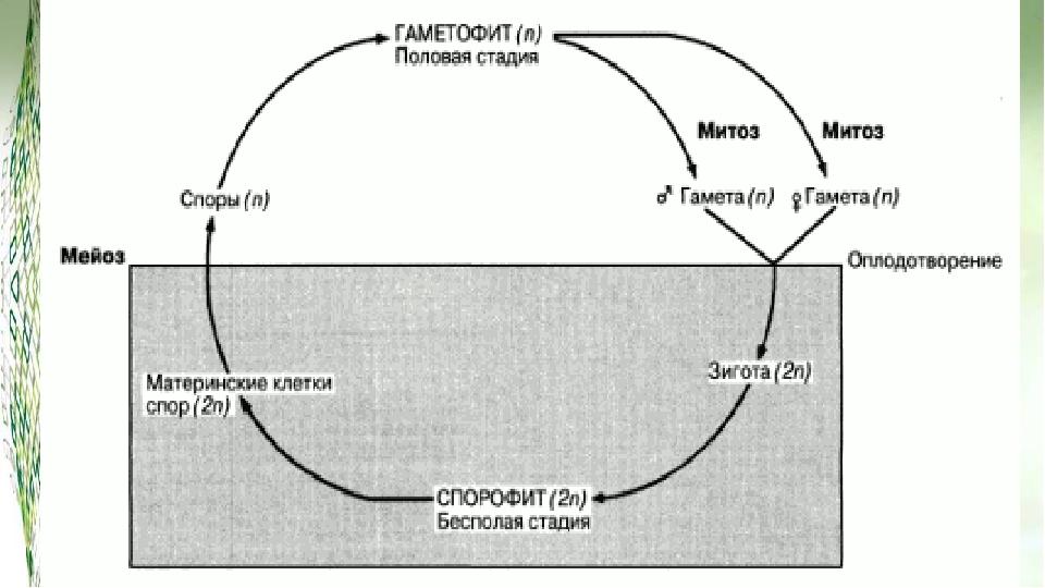 Чередование жизненного цикла: Растения имеют отличное свойство от других орг...