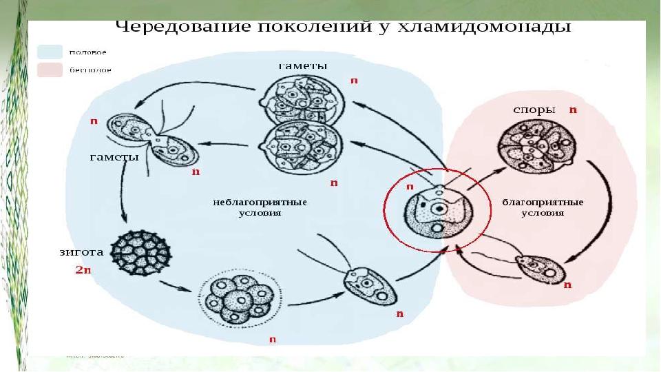 В жизненном цикле зелёных водорослей преобладает гаметофит (n), клетки их гап...