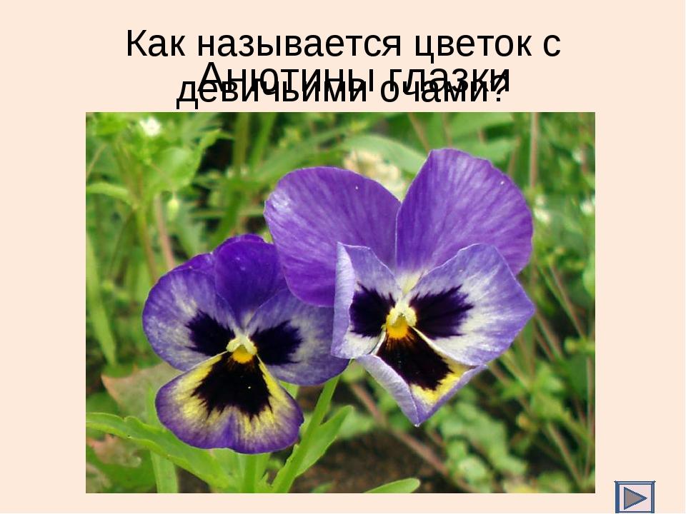 Как называется цветок с девичьими очами? Анютины глазки