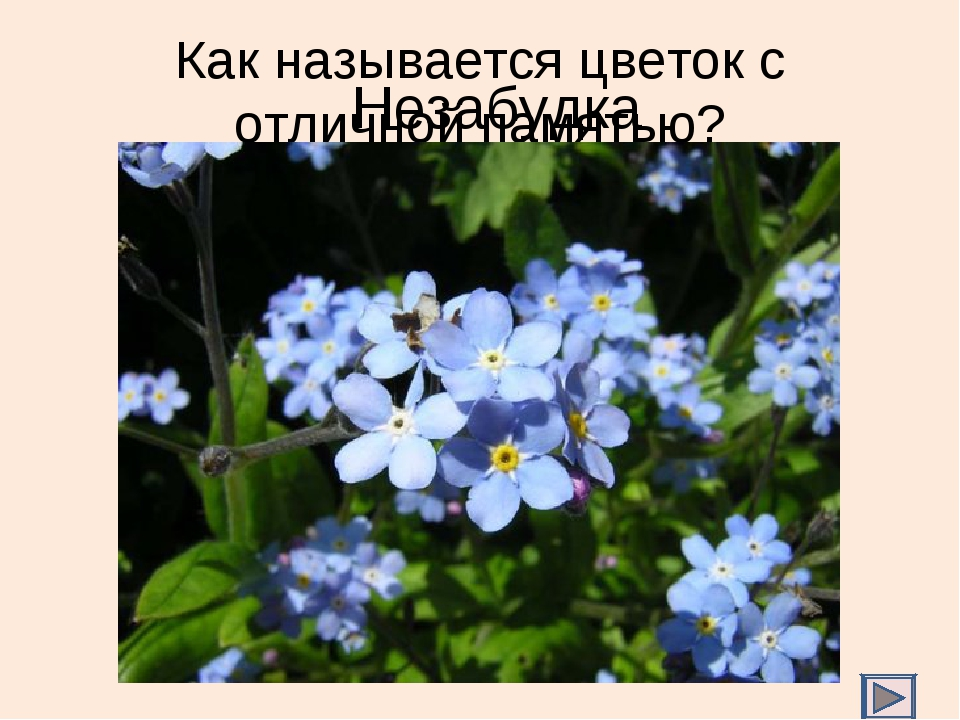 Как называется цветок с отличной памятью? Незабудка