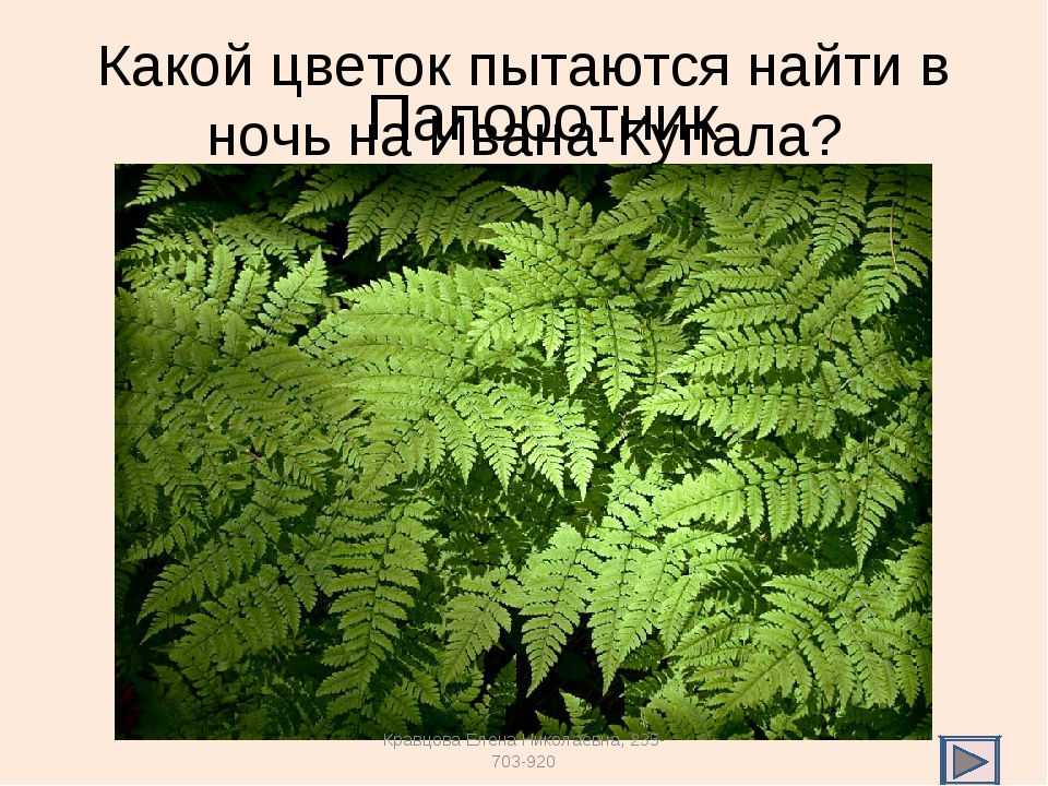 Какой цветок пытаются найти в ночь на Ивана-Купала? Папоротник Кравцова Елена...