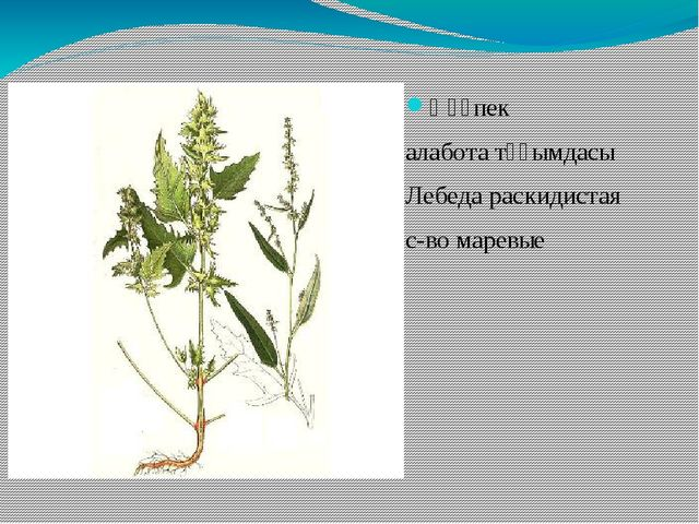 Қөқпек алабота тұқымдасы Лебеда раскидистая с-во маревые