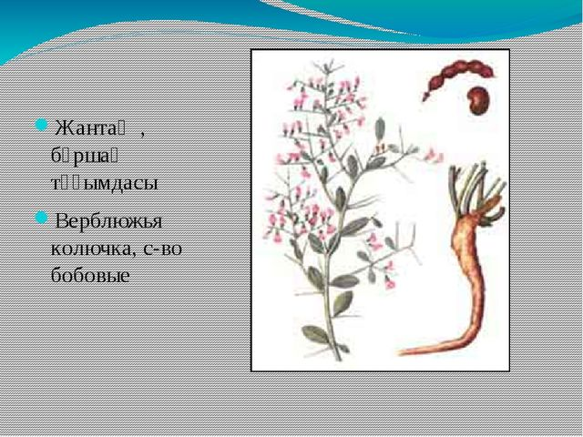 Жантақ , бұршақ тұқымдасы Верблюжья колючка, с-во бобовые