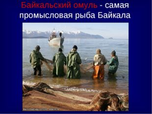 Байкальский омуль - самая промысловая рыба Байкала