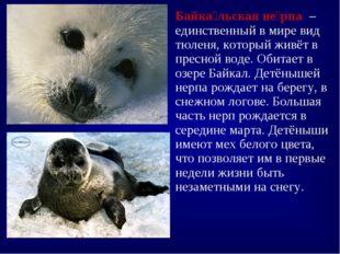 Байка́льская не́рпа – единственный в мире вид тюленя, который живёт в пресной