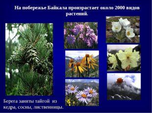 Берега заняты тайгой из кедра, сосны, лиственницы. На побережье Байкала произ