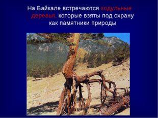 На Байкале встречаются ходульные деревья, которые взяты под охрану как памятн