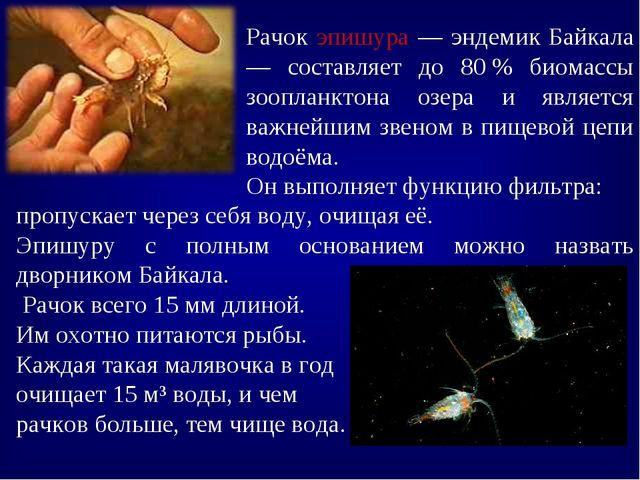 Рачок эпишура — эндемик Байкала — составляет до 80% биомассы зоопланктона оз...