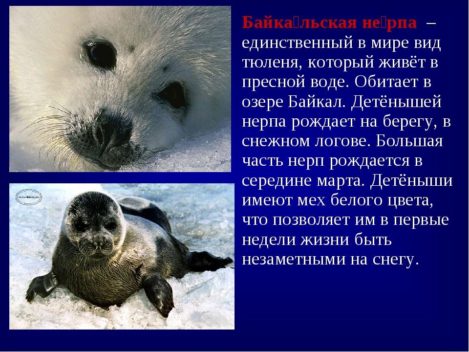 Байка́льская не́рпа – единственный в мире вид тюленя, который живёт в пресной...