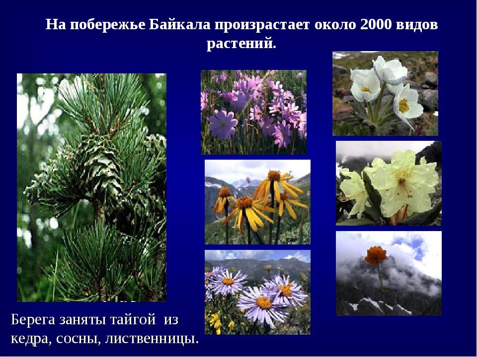 Берега заняты тайгой из кедра, сосны, лиственницы. На побережье Байкала произ...