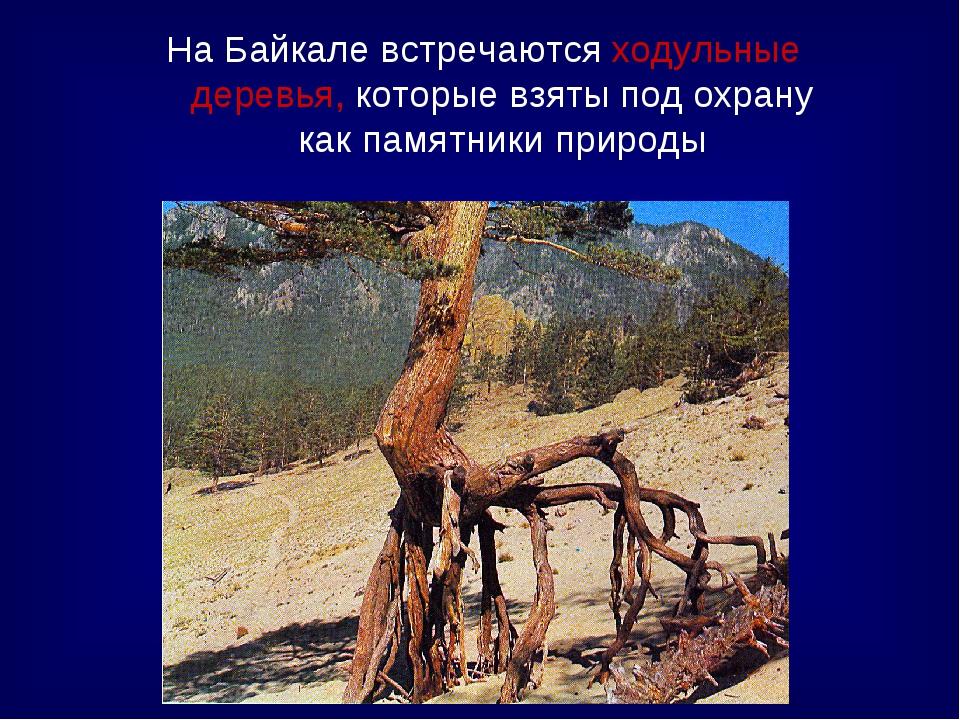 На Байкале встречаются ходульные деревья, которые взяты под охрану как памятн...