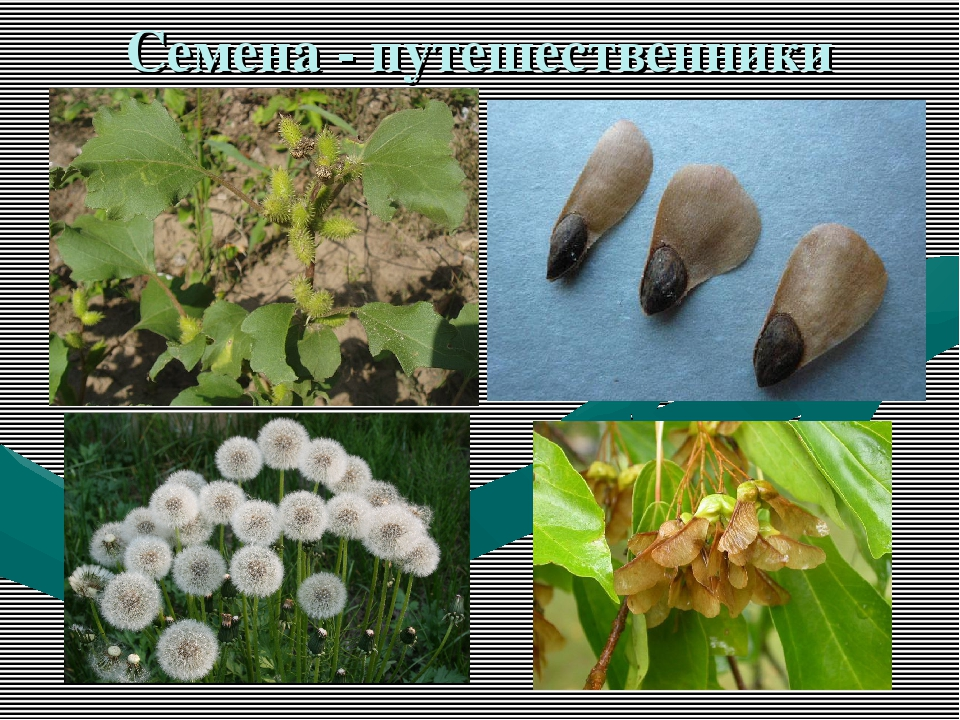Семена - путешественники