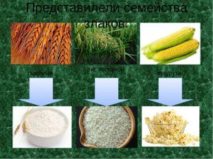 рис посевной кукуруза пшеница Представилели семейства злаков:
