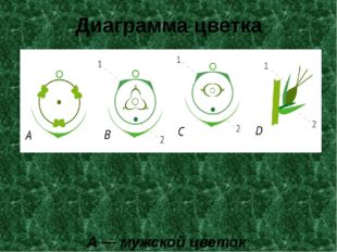 Диаграмма цветка A— мужской цветок B,С,D— женский цветок 1 — мешочек, 2 —