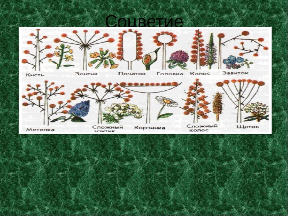 Соцветие Мелкие цветки собраны в простое соцветие злаков – колосок. Колоски,...