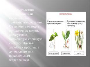 Это многолетние луковичные или корневищные травянистые растения. От луковиц